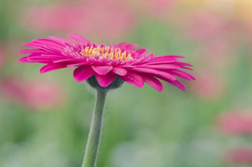 Pink gerbera van Rene Mensen