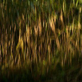 Riet in het avondlicht van Gilbert Schroevers