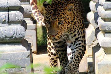 Javanischer Panther von Chloë Luyckx