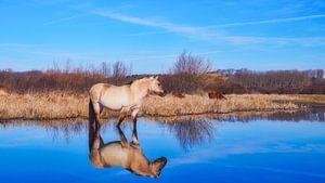 Konik-Pferd im Frühling