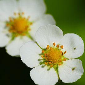White blossoms van brava64 - Gabi Hampe