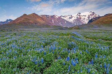 Lupinenfeld in Island von Sam Mannaerts Natuurfotografie
