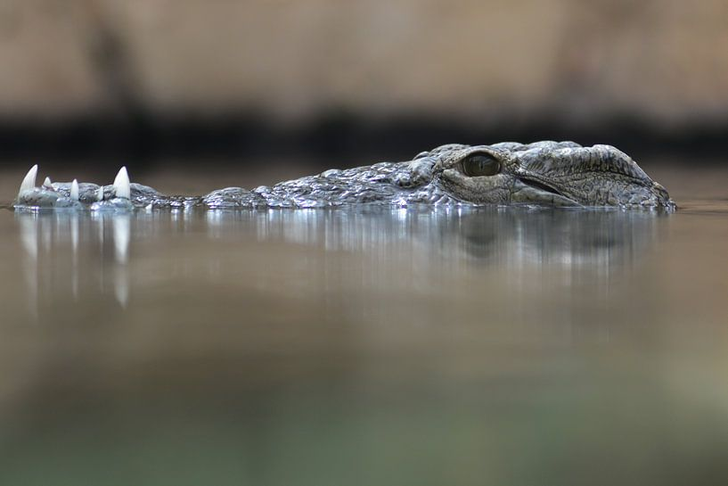 Crocodile van Jaco Verheul