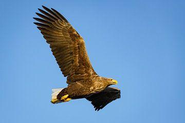 Seeadler auf der Jagd am Himmel von Sjoerd van der Wal