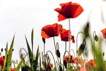 Poppys field sur Kurt Krause