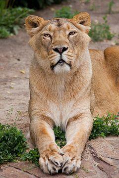 Sitzt diszipliniert wie eine vorbildliche Löwinnenschülerin, gerade und schaut nach vorne