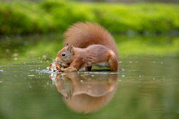 Eichhörnchen nimmt zur Kenntnis von Tanja van Beuningen