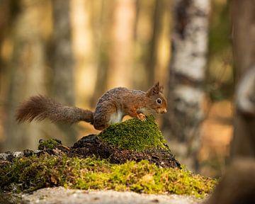 schönes Bild von einem Eichhörnchen von Stuart De vries