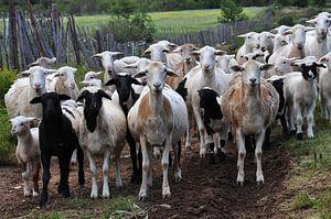 Kudde geiten kijken ons aan