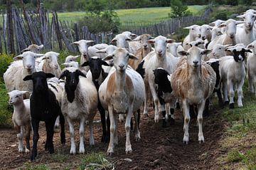 Kudde geiten kijken ons aan von Peter Mooij