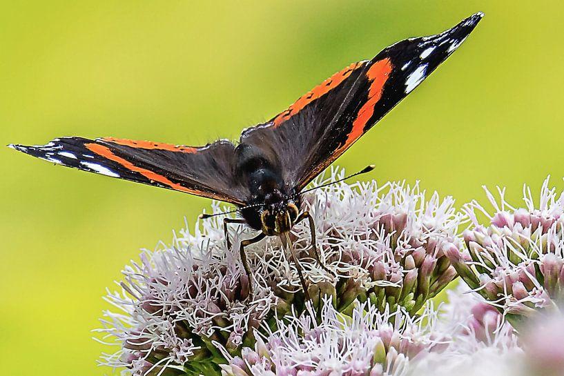 Close-up van een Atalanta vlinder van Fotografie Jeronimo