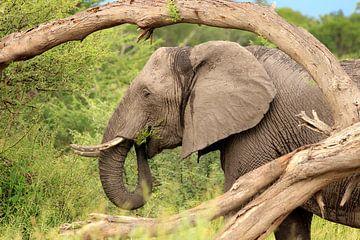 Elefantengras frisst schwarz-weiß von Bobsphotography