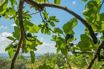 Uitzicht vanaf een Toscaanse heuvel onder de vijgenboom van