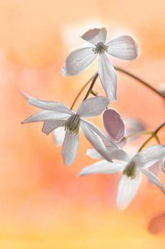Clematis armandii bloemen van Corinne Welp