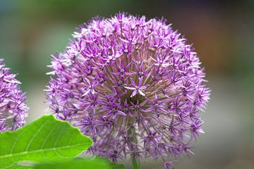 Nahaufnahme Blume Zierlauch Close-Up von Thomas Wagner