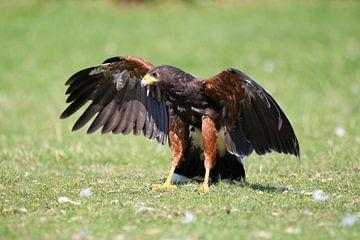 Raubvogel von laura van klooster