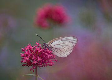 Veined Kohl weiß auf einem lila Blume von Albert Beukhof