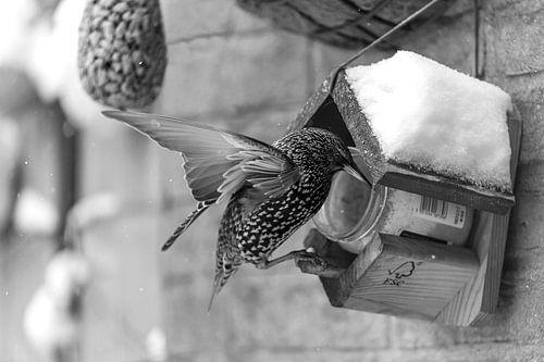 Spreeuw met vogelpindakaas in zwart wit