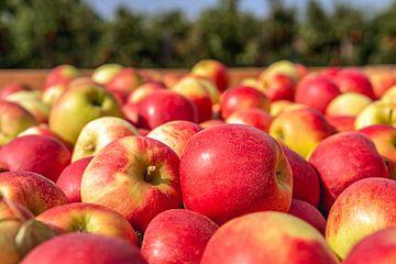 Caisse de récolte en bois pleine de pommes fraîchement cueillies