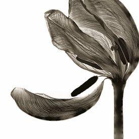 Tulip I van Cor Ritmeester