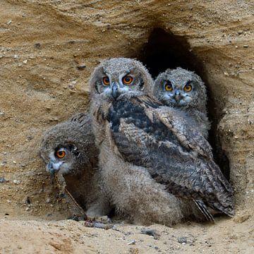 Oehoe, Europese oehoe ( Bubo bubo ), drie jonge uilen in de ingang van hun broedende grot, wilde die van