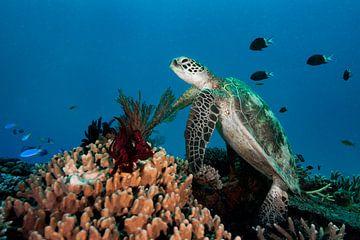 Schildpad op het koraalrif van Ramon Stijnen