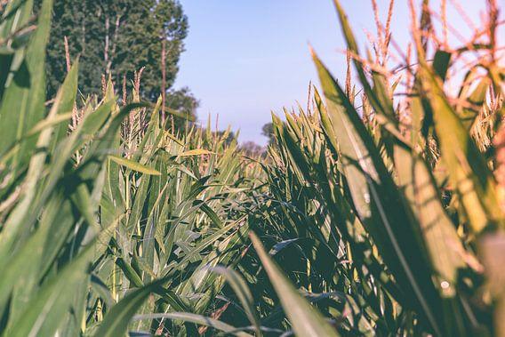Door het maïsveld