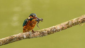 IJsvogel met prooi van Henk Roosing