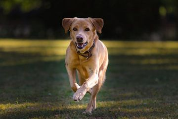 Hond sprint over gras van Tobias Toennesmann