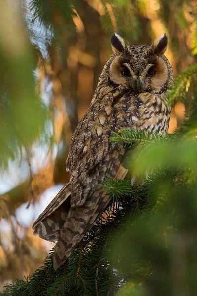 Long-eared Owl ( Asio otus ) perched in a conifer, watching, last evevning light van wunderbare Erde