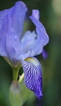 Iris III van