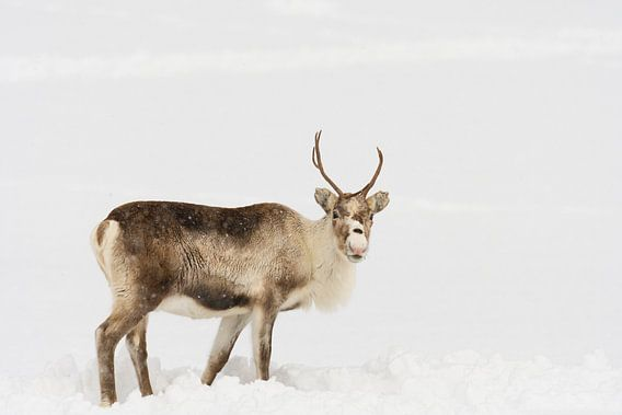 Rendier in de sneeuw tijdens de winter in Noord Noorwegen.