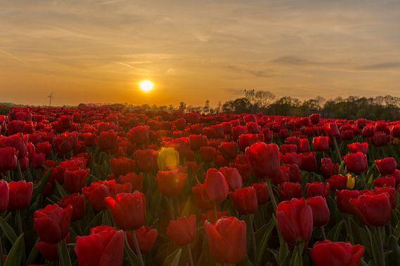 Gele tulp in rood tulpenveld tijdens zonsondergang.