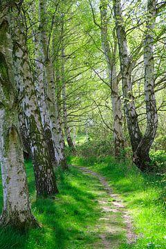 Berkenbomen Backlit van Ostsee Bilder