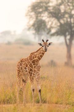 Eine junge Giraffe im Morgenlicht, die in die Kamera schaut. von Gunter Nuyts