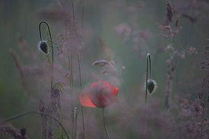 klaproos met knoppen, poppy,Terheijden, Noord-Brabant, Holland, Nederland, afbeelding klaproos van