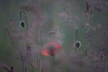 klaproos met knoppen, poppy,Terheijden, Noord-Brabant, Holland, Nederland, afbeelding klaproos van Ad Huijben