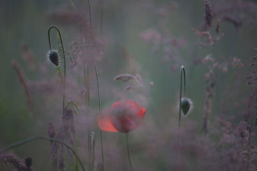 klaproos met knoppen, poppy,Terheijden, Noord-Brabant, Holland, Nederland, afbeelding klaproos