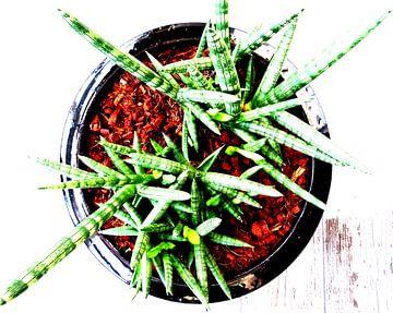Kamerplant: Sansevieria Cylindrica Shabiki 2 van MoArt (Maurice Heuts)