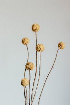Craspedia bloem. Fine art fotografie. Wanddecoratie. Moody stijl. van Quinten van Ooijen