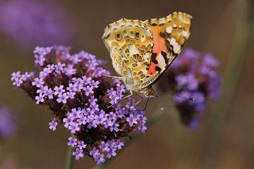 Vlinder op verbena van Martijn de Ridder