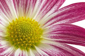 Chrysant / Chrysanthemum von
