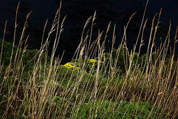 Kogel Grass