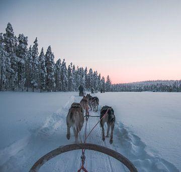 Huskies in Lappland von Marjon Boerman