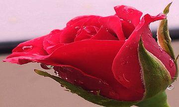 Roos met dauwdruppels van Valeriia T