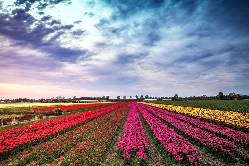 Tulpenrijen van Freek Rooze