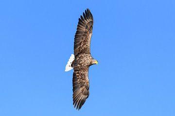 Pygargue à queue blanche chassant dans le ciel au-dessus d'un fjord  sur Sjoerd van der Wal