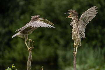 """Twee jonge vogels (Kwakken)  """"in gesprek"""""""