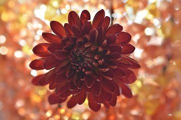 Chrysantheme mit Bokeh von zwergl 0611