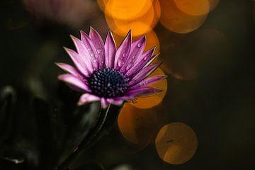 Osteospermum lila Blüten mit Bokeh von Lindy Schenk-Smit